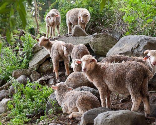 Саксонские мериносовые овцы