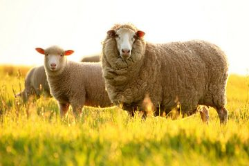 Порода овец Меринос