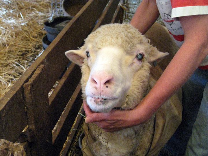 меринос овцы cтрижка